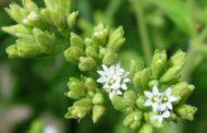 Stevia, un edulcorante natural sin calorías