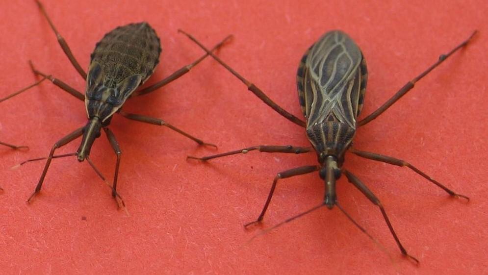 El Mal de Chagas adquirió el estatus de enfermedad transmitida por alimentos