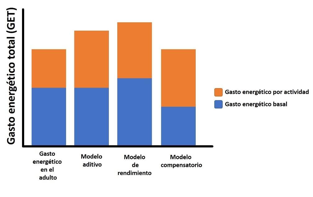 Gasto energético en el adulto: se refiere al modelo tradicional en el que el gasto energético de actividad representa cerca de un 40% (incluyendo 10% del efecto térmico de los alimentos) y el 60% lo representa el gasto energético basal. Modelo aditivo: se refiere a la teoría según la cual el aumento en la actividad física se suma directamente al gasto energético basal. Modelo de rendimiento: se refiere a la teoría según la cual el aumento en la actividad física ocasiona un aumento en el gasto energético basal para reparar los daños causados y soportar el cambio de composición corporal. Modelo compensatorio: modelo encontrado en el estudio, según el cual el aumento en la actividad física es compensado por una disminución del gasto energético basal. Fuente: Modificado de Careau et al. 2021.